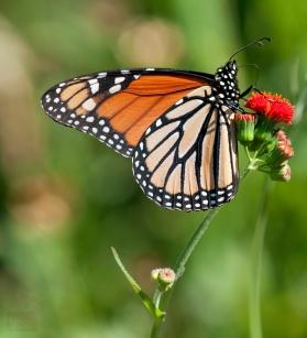 American Monarch Butterfly shot by Nigel Morris of Nigel Morris Photography