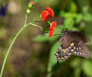 Unknown Species of Butterfly shot by Nigel Morris of Nigel Morris Photography